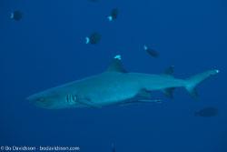 BD-150422-Maldives-7629-Triaenodon-obesus-(Rüppel.-1837)-[Whitetip-reef-shark.-Vitspetsig-revhaj].jpg